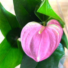 Load image into Gallery viewer, Anthurium Joli Pink - Final restock