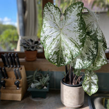 Load image into Gallery viewer, Baby Caladium 'Snow Flurry'