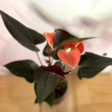 Load image into Gallery viewer, Anthurium 'Rainbow Champion' ( Anthurium Andraeanum) - Final restock