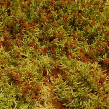 Load image into Gallery viewer, 1kg Fresh Sphagnum Moss - Preorder