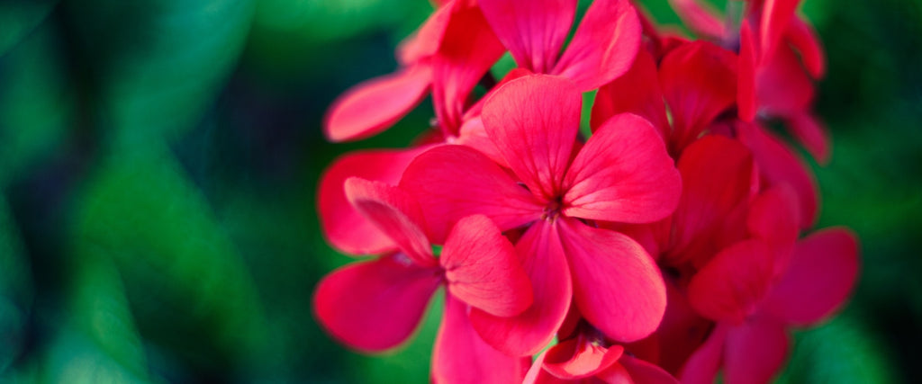 Geranium Oil Soothes and Renews Your Skin