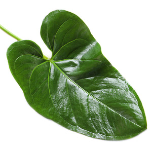 anthurium Leaf