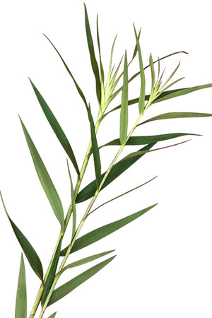Bamboo Orchid Foliage