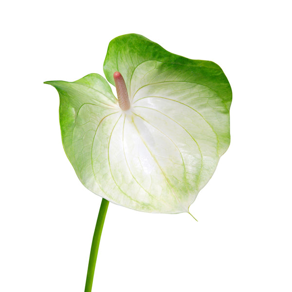 Rainbow Obake Anthurium