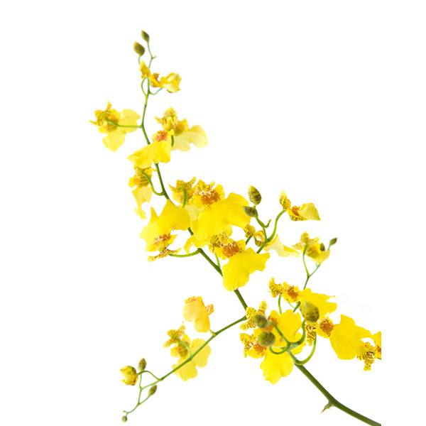 Oncidium Orchid Spray