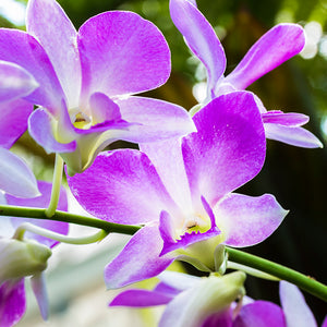 Purple Dendrobium Orchid Spray