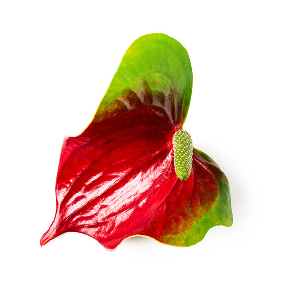 Tropic Sunrise Anthurium