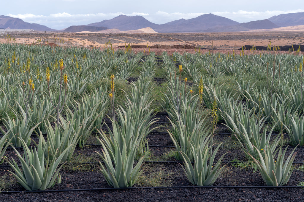 Aloe Vera - A treasure trove of benefits