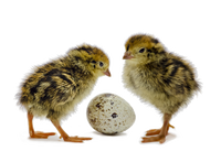 Coturnix Quail chicks next to an egg