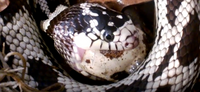 Snake eating a quail egg Reptanicals Quail eggs