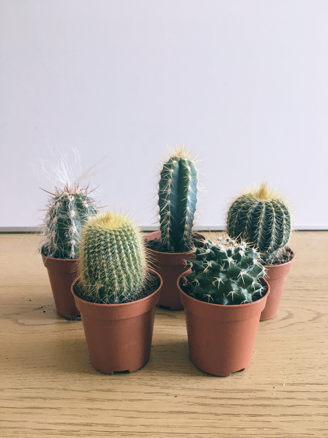 Set of 5 mini cactus or Succulents