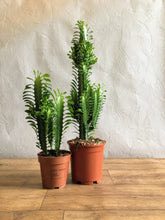 Load image into Gallery viewer, Euphorbia Trigona - Cathedral cactus