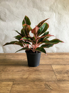 Aglaonema Crete - Chinese Evergreen