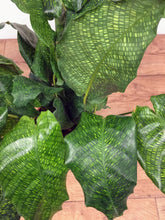 Load image into Gallery viewer, Calathea Musaica 'network'