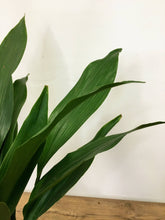 Load image into Gallery viewer, Aspidistra Elatior - Cast Iron Plant