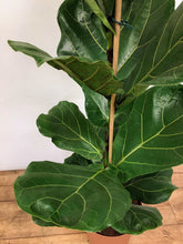 Load image into Gallery viewer, Ficus lyrata - Fiddle leaf fig