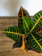 Load image into Gallery viewer, Codiaeum Petra - Croton
