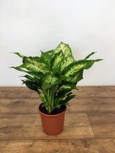 Load image into Gallery viewer, Dieffenbachia Compacta - Dumb Cane