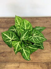 Load image into Gallery viewer, Syngonium White Butterfly - Arrowhead Vine