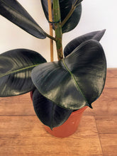 Load image into Gallery viewer, Ficus elastica Robusta - Rubber Plant