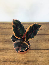 Load image into Gallery viewer, Ficus 'Belize' - Rubber Plant