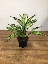 Load image into Gallery viewer, Aglaonema White Lance - Chinese evergreen