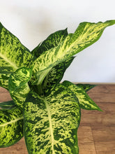 Load image into Gallery viewer, Dieffenbachia Mars - Dumb cane
