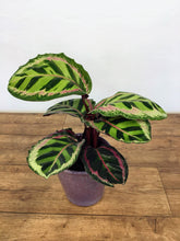 Load image into Gallery viewer, Calathea roseopicta Cora