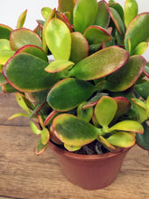 Load image into Gallery viewer, Crassula sunset - Golden Jade Plant