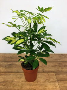 Schefflera Gerda - Dwarf Umbrella Tree
