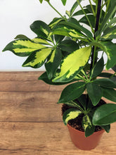 Load image into Gallery viewer, Schefflera Gerda - Dwarf Umbrella Tree