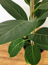 Load image into Gallery viewer, Ficus benghalensis - Ficus Audrey