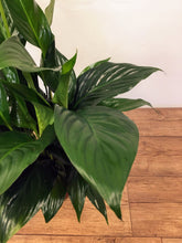 Load image into Gallery viewer, Spathipyllum - Peace lily