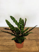 Load image into Gallery viewer, Calathea lancifolia - Rattlesnake plant