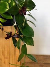 Load image into Gallery viewer, Aeschynanthus Mona Lisa - Lipstick plant