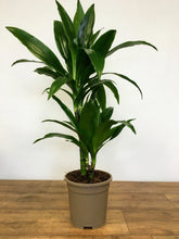 Load image into Gallery viewer, Dracaena Janet Craig - Dragon plant