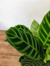 Load image into Gallery viewer, Calathea Zebrina - Zebra plant