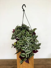 Load image into Gallery viewer, Tradescantia zebrina - Inch plant