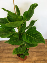 Load image into Gallery viewer, Ficus Altissima - Lofty fig