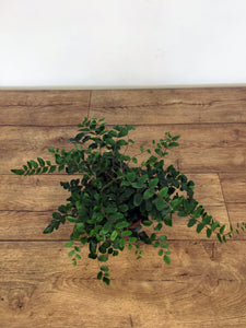 Pilea rotundifolia - Button fern