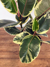 Load image into Gallery viewer, Ficus elastica 'Tineke' 3 stem - Rubber plant
