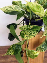 Load image into Gallery viewer, Epipremnum Aureum 'marble queen' - Marble queen pothos - Hanging pot