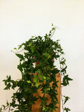 Load image into Gallery viewer, Hedera helix - English Ivy