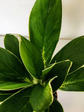 Load image into Gallery viewer, Aglaonema Fln011 - Chinese evergreen