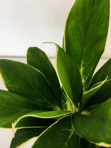 Aglaonema Fln011 - Chinese evergreen