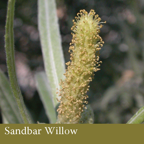 1010 - Sandbar Willow (Salix interior rowlee)