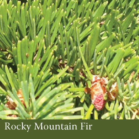 1012 - Rocky Mountain Fir (Abies lasiocarpa (hook.) nutt. var. lasiocarpa)