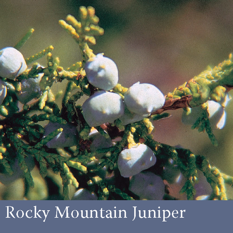 1013 - Rocky Mountain Juniper (Juniperus scopulorum Sarg.)