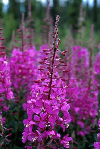 Two Fireweed Harvests for Florist to Arrange and Ship