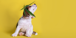 The benefits of Medicinal CBD products for animals